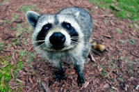 What's the life of a single raccoon worth? | Mickey Z.