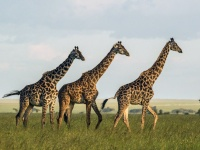 Friends Matter: Giraffes That Group With Others Live Longer  ...