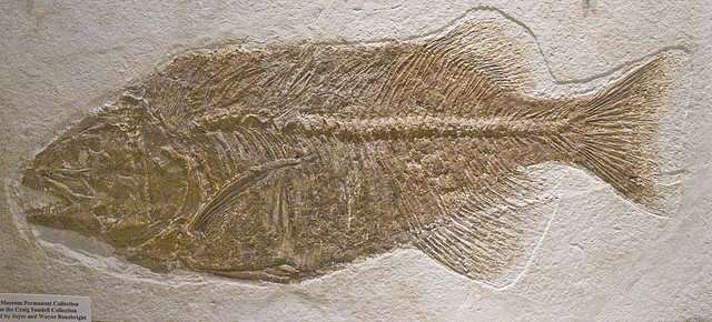 Fossil fish. By John Marsh. Flickr (CC BY-NC 2.0)