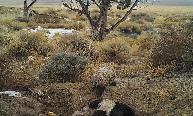 Camera trap image of an American badger burying a calf carcass by itself in Utah's Grassy Mountains, January 2016. Credit: Evan Buechley.