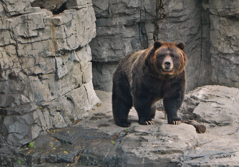 "Veronica, one of the grizzlies at Central Park Zoo. She was ""rescued"" from Yellowstone National Park in Wyoming in 1995 after her mother was euthanized (translation: murdered)."