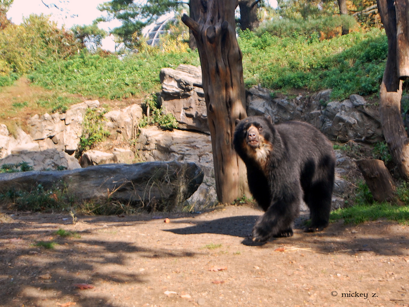 "An Andean or ""Spectacled"" Bear at Queens Zoo. This species has been known to visit Machu Picchu. Photo credit: Mickey Z."
