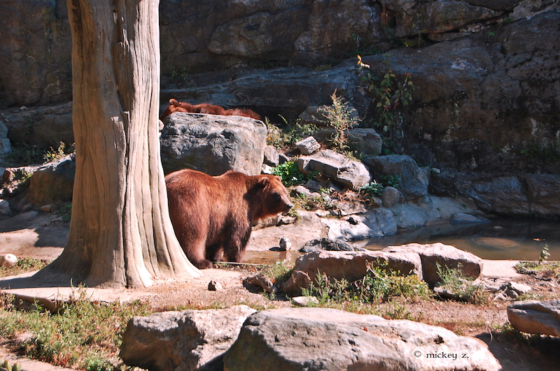 Grizzlies at the Bronx Zoo. Once numbering around 50,000 in North America, roughly 1,800 grizzly bears now exist in the wild, in the lower 48 states. Photo credit: Mickey Z.