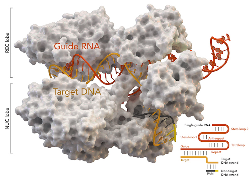 CRISPR-associated protein Cas9 (white) from Staphylococcus aureus based on Protein Database ID 5AXW. Credit: Thomas Splettstoesser (Wikipedia, CC BY-SA 4.0)  Read more at: https://phys.org/news/2017-05-crispr-gene-hundreds-unintended-mutations.html#jCp