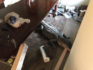 "Image from Harris County Constable Precinct 4 Facebook page. ""Precinct 4 Constable Mark Herman's Office responded to an intruder call at a residence near Lake Houston. Upon arrival, deputies were met by a large alligator who made his way into this flooded home."""