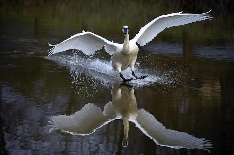 Trumpeter Swan is a photograph by Brian Stevens. fineartamerica.com/featured/4-trumpeter-swan-brian-stevens.html
