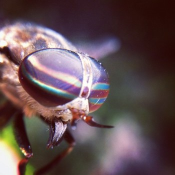 Horsefly. Credit: Dave Edens, Flickr (CC BY-NC-ND 2.0)
